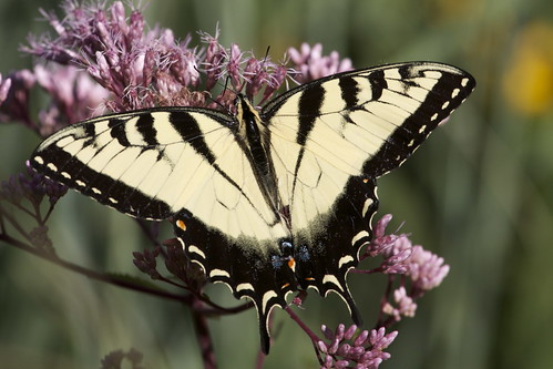 Tiger Swallowtail by ricmcarthur