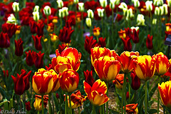 Growing Up Tulips (D. Photos) Tags: flowers red green nature colors yellow tulips springtulips colorfultulips debbiephotos brooklynbotanicgardentulips nyctulips brooklynbotanicgardenflowers brooklynbotanicgardennature newyorkcitytulips