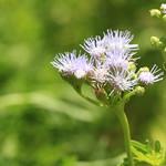 Blue Mistflower thumbnail