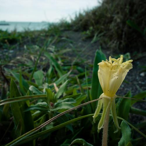 Yellow Sand Bud