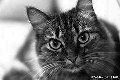 Cindy  (Sah Ferreira.) Tags: pet eye cindy cat 50mm bigeyes gato gata meow 18 puss bestofcats boc0811 5boc sahguerreiro sarahguerreiro