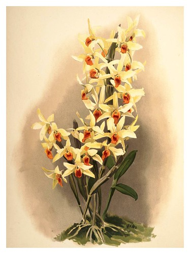 015-Dendrobium Aureum-Reichenbachia-Orchids illustrated and described..VolI I-1888-F.Sander