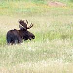 Smiling Moose thumbnail