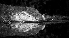 Reflections of Power (morribrad) Tags: vacation blackandwhite bw holiday animal fauna canon eos zoo blackwhite ancient singapore outdoor reptile wildlife selftaught crocodile learning croc dslr predator amateur beginner singaporezoo 500d