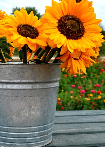 08/30/11 Sunflowers on a Not So Sunny Day by roswellsgirl