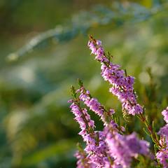 early morning dewy heather - for Heather :o) (devonteg) Tags: morninglight nikon heather august dew ferns 2011 d80 nikkor105mmf28gvrmicro