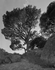 Pine tree (Grey Wind) Tags: blackandwhite film landscape scan epson 4x5 hp5 chamonix ilford largeformat id11 v700 045n2