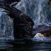 Swimming Bald Eagle