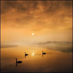 Three Mute Swans (adrians_art) Tags: sky cloud mist water birds fog reflections swans rivers