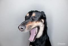 Ringflash fun 4 (chad.latta) Tags: dog animal mix lab sam flash canine boxer ringflash strobe kayce boxador chadlatta