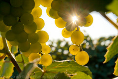 star of the vineyard by aimeeern