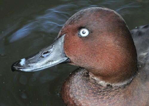 Ferruginous Duck ( Aythya Nyroca )