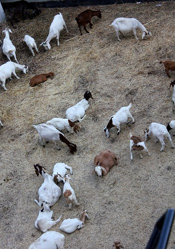Grazing Goats at Angels Flight