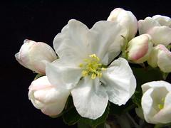 Mark Blossom