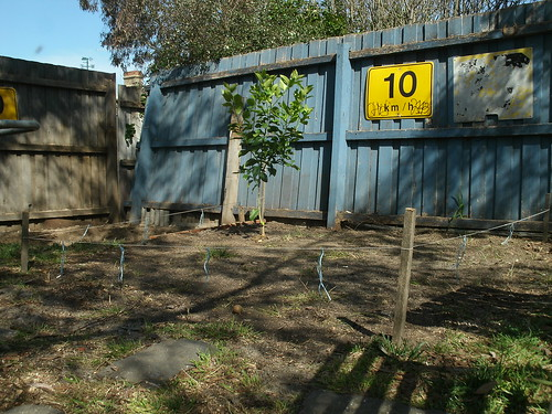 Lemon Tree & new indigenous lawn patch