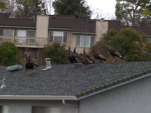 1turkeys2 jojy smith antioch