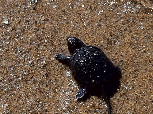 Baby snapping turtles surf very small waves by betsythedevine