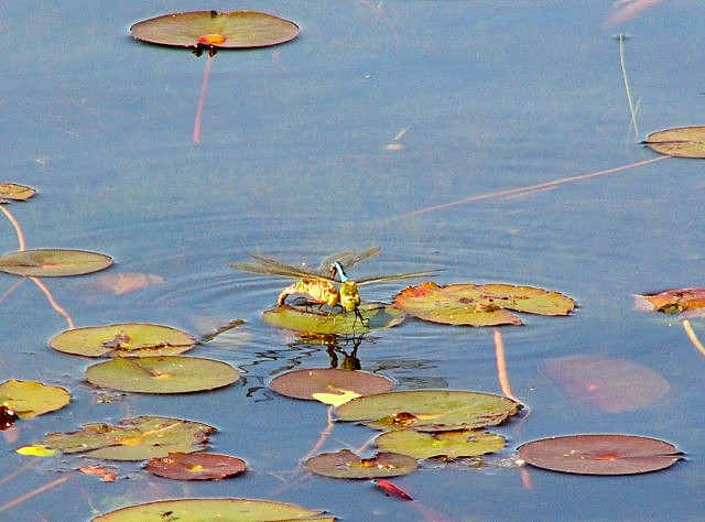 070711_dragonflies