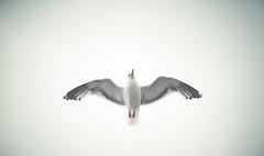 Septiembre advierte octubre (Ibai Acevedo) Tags: bird animal seagull flight cielo vol gaviota niebla pájaro vuelo boira pluja vull