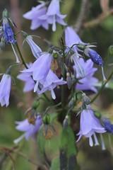 Adenophora sublata (Campanulaceae)
