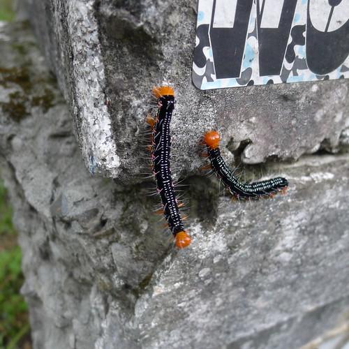 碇格路上的蜈蚣