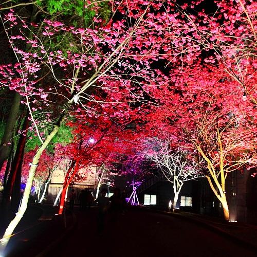 sakura show at night