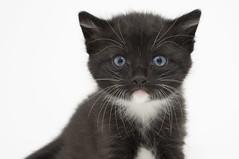 Black & White Kitten (Painted Light Studio) Tags: usa white black cat photography eyes kitten image pentax pussy kitty ears whiskers photograph kr friday kohlbauer hardpancom marckohlbauer