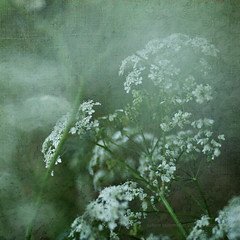 cow parsley. (*Sabine*) Tags: flowers germany deutschland europa europe blumen textured solingen cowparsley anthriscussylvestris apiaceae kerbel wiesenkerbel weinsbergtal doldenbltler