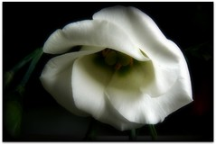 White bonnet ( Katie ann) Tags: flowerpower etude beautifulflowers windsong friendsforever supershots shieldofexcellence amazingdetail heartsaward natureiswonderful qualifiedmembersonly damniwishidtakenthat ohnonotanotherflower heartworld floralfantasia handselectedphotographs universeofnature richardsfloraandfauna mygearandme freedomgexcellence stunningnatureonblack 2heartsaward themagicofthenature seniaskittygroup beautifulflowergroup thethreeangelslevel3 thethreeangelslevel2 thethreeangelslevel1 frogpondflorals brigettesbeautifulnaturegallery lartedellanatura artselectedbyadministratorsonly brigettesbeautifulnaturegallerylevelii favtop2049fav