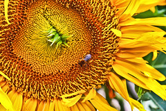 Sunflower & Bee (thelearningcurvedotca) Tags: wild plant toronto ontario canada flower detail nature floral beauty yellow closeup canon garden insect outdoors gold colorful pretty natural bright outdoor vibrant background working sunny canadian bee busy single sunflower worker pollen bumble honeybee blooming iamcanadian cans2s wwwareamagazinecom t1i blogtophoto mygearandme ayrphotoscontestsummercolors