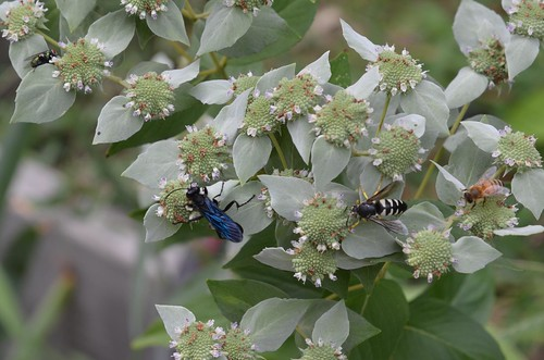 Multiple Pollinators on Pycnanthemum