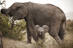 Bonding Time (ctanner999) Tags: africa canon kenya wildlife reserve safari national ii mara maasai 100400mm canon100400 masaimara f4556 canon5dmarkii