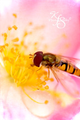 Bee-utiful :) (Kidzmom2009) Tags: pink flower macro texture rose yellow bee kidzmom2009 gettyimageswants kfsphotography