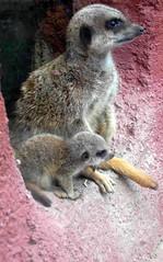 Meerkat (megphc) Tags: wild baby animals zoo meerkat mother pup meerkats