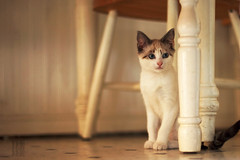 Sneaky Terrorist (Ian Sane) Tags: pet kitchen cat table ian chair kitten waiting funny humorous ninja attack terrorist images purr stray stealth meow curious mischievous nala playful sneaky sane thelittledoglaughed ldlportraits