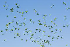 birds (Fernando Stankuns) Tags: brazil bird nature beauty flying photo san francisco natureza pssaro ave fernando su beleza fotografia miranda brasileiro mato pantanal fazenda grosso voo voando revoada ucello matogrossense fazendasanfrancisco pantanalbrasileiro stankuns pantanalsulmatogrossense