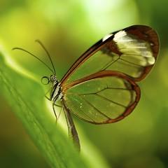 Glass wing (klythawk) Tags: leica brown sunlight white macro green nature yellow closeup butterfly insect panasonic tropical g1 45mm glasswing wonderfulworldofmacro klythawk