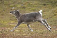 IMG_8811 (gypsygallisa) Tags: reindeer frozen svalbard arctic