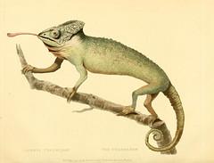 Anglų lietuvių žodynas. Žodis chamaeleo chamaeleon reiškia Chamaeleo chamaeleonas lietuviškai.