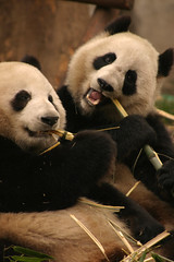 Eating Bamboo (Sunanda Chandry Koning) Tags: china travel animal animals digital canon photography eos tiere photo asia panda 300d bamboo chengdu animaux sichuan dieren 2009 dier canoneos300d tier april2009