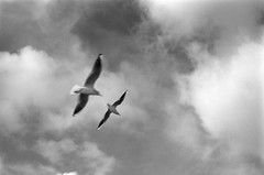 Birds don't fly; they just stop themselves from falling (Giannis_Drakos) Tags: seagulls travelling monochrome blackwhite nikonf80 filmphotography giannisdrakosportfolio giannisdrakos