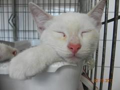 Oscar - ADOTADOS :-) (resGatinhos) Tags: adoteumgato gatobranco adoteumgatinho adotargato adotargatocampinas adotargatobranco