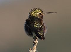 The Jewelry of Colorado -  A Broad-Tailed Hummingbird (rivadock4) Tags: bird colorado hummingbird flat boulder flatirons irons broadtailedhummingbird