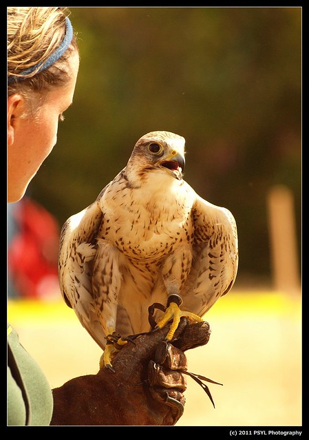 Arrow, the Saker Falcon (Falco cherrug)