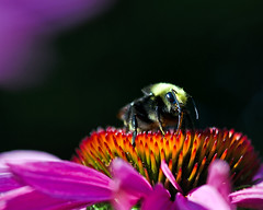 Bees Knees (Steve Corey) Tags: droh dailyrayofhope