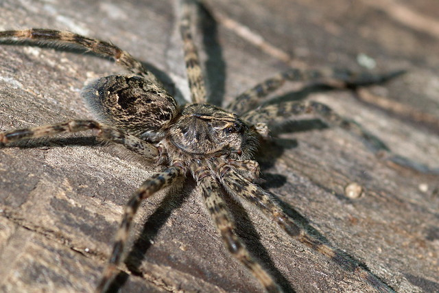 A Dark Fishing Spider on a fallen tree trunk near the Sunrise Landing in Wild River State Park.