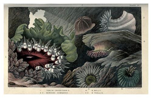006-Actinologia Britannica… 1860- Philip Henry Gosse
