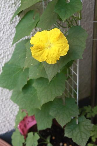 へちまの花
