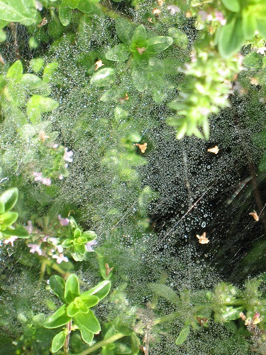 Dewy spiderweb on thyme