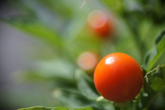Jerusalem cherry -  (turntable00000) Tags: orange flower japan fruit ball cherry tokyo sony jerusalem 365 nex  turntable00000